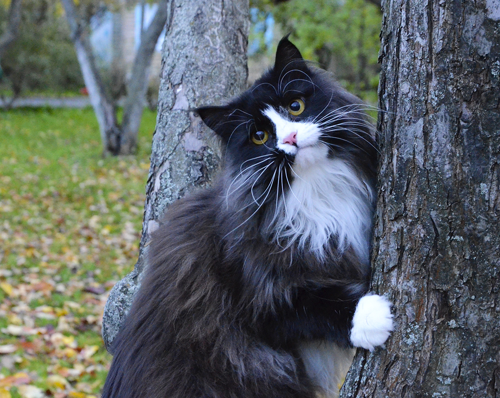 Siberian cat Tiffany