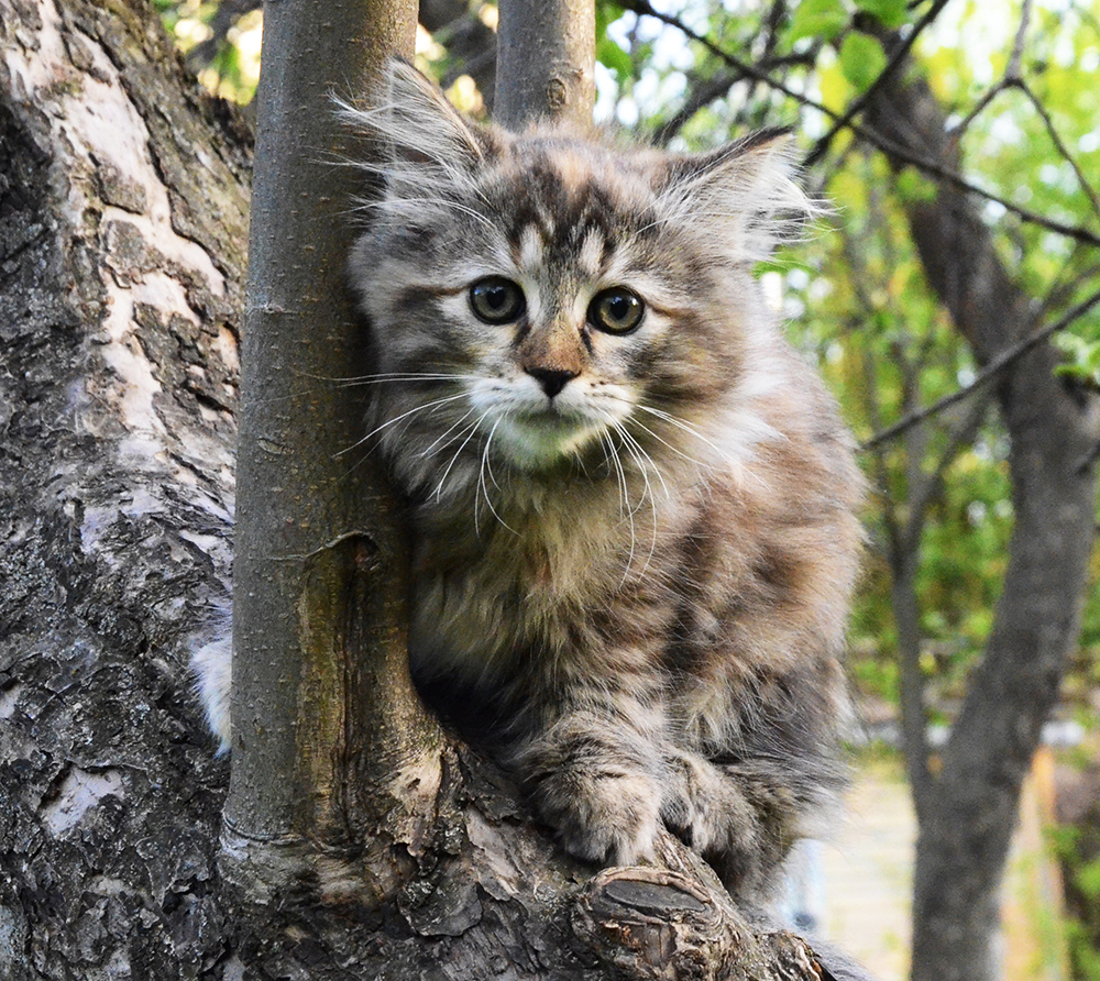 Siberian kitten Whiskey