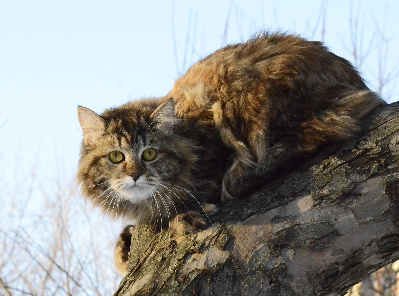 Whisky siberian cat