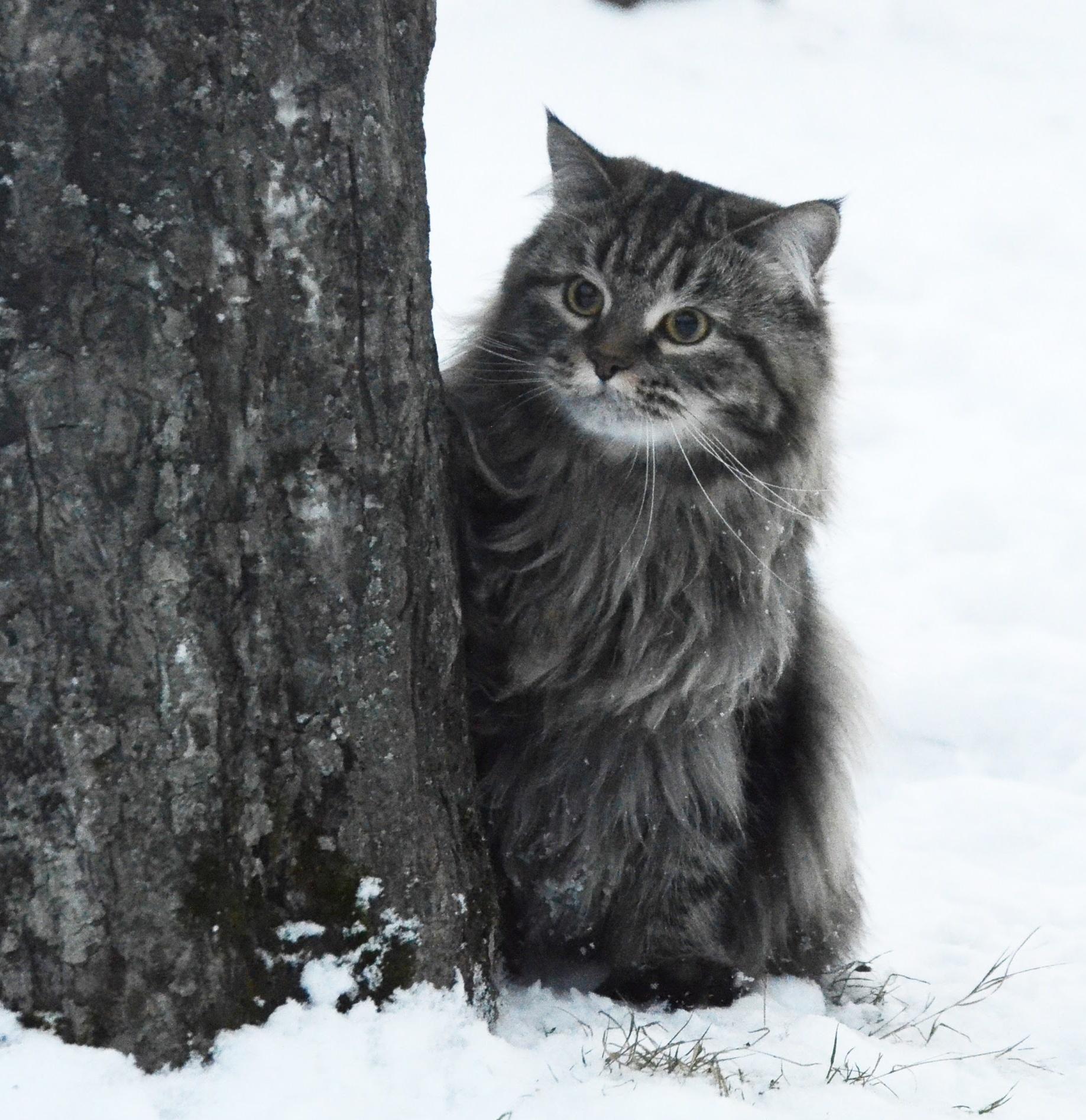 Сибирская кошка Рулетка