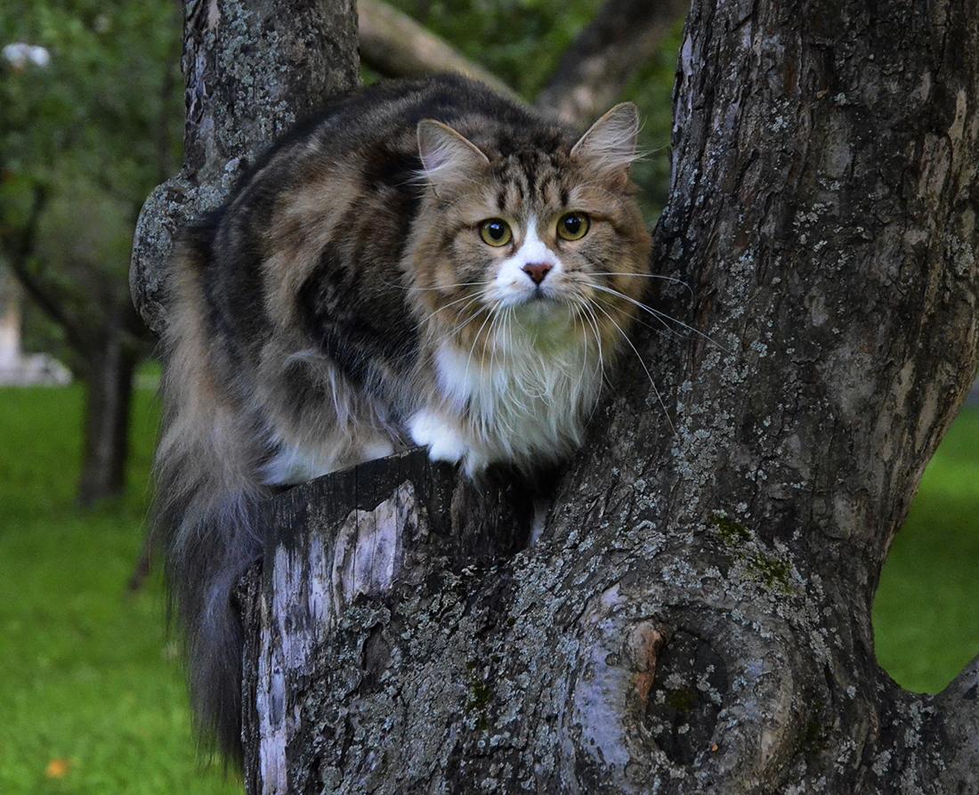 Siberian cat Paulina