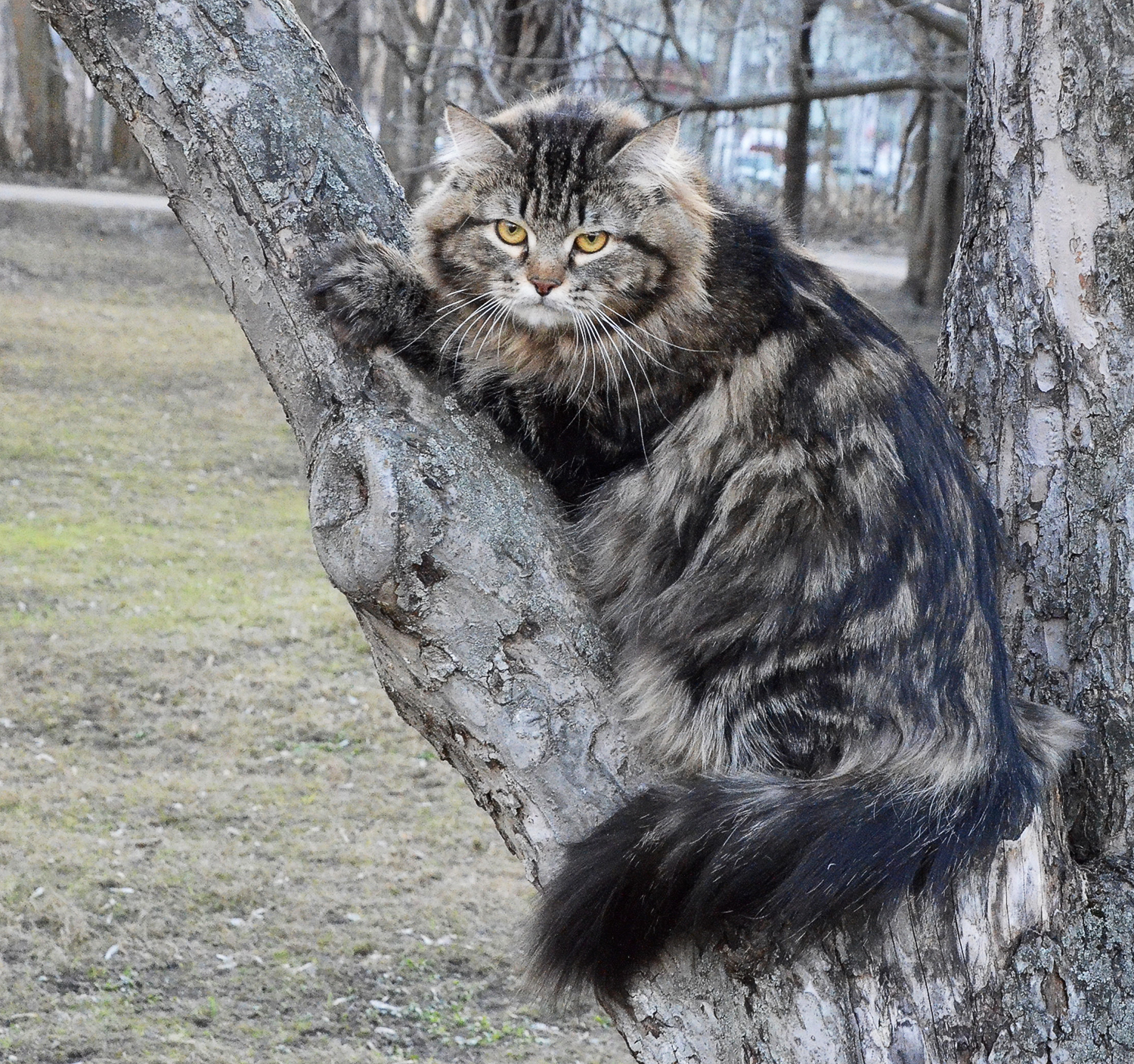 Siberian cat Ruletka