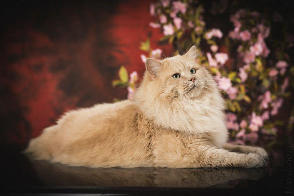 Siberian cat Beilis