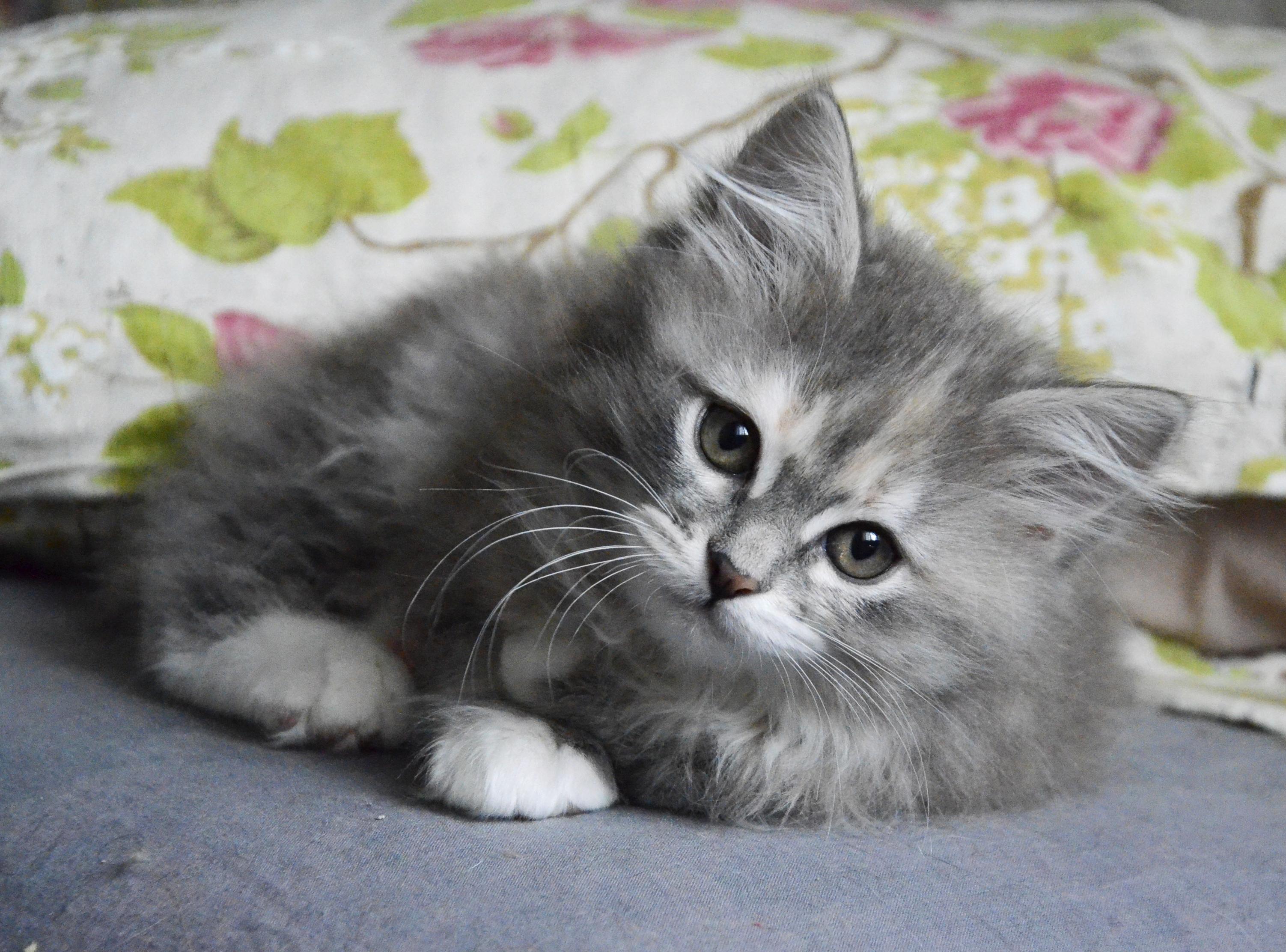 Сибирский котенок Ягодка