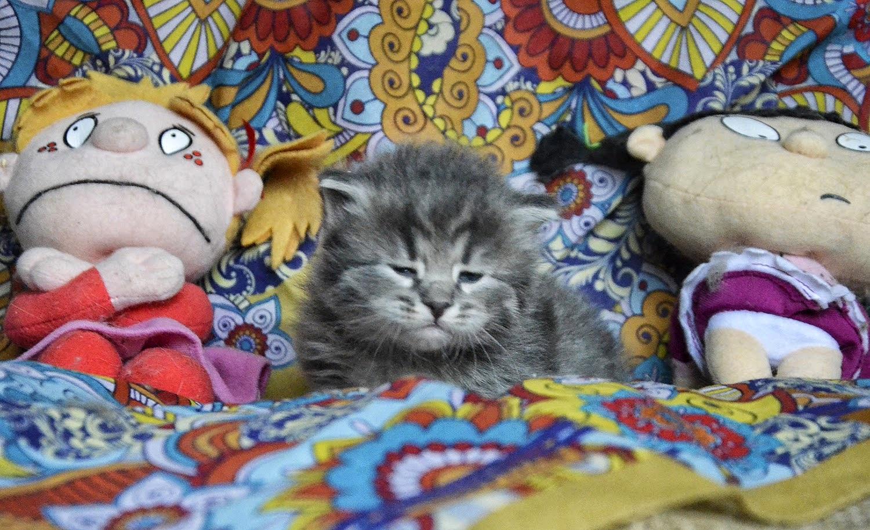 Siberian kittens blue tabby