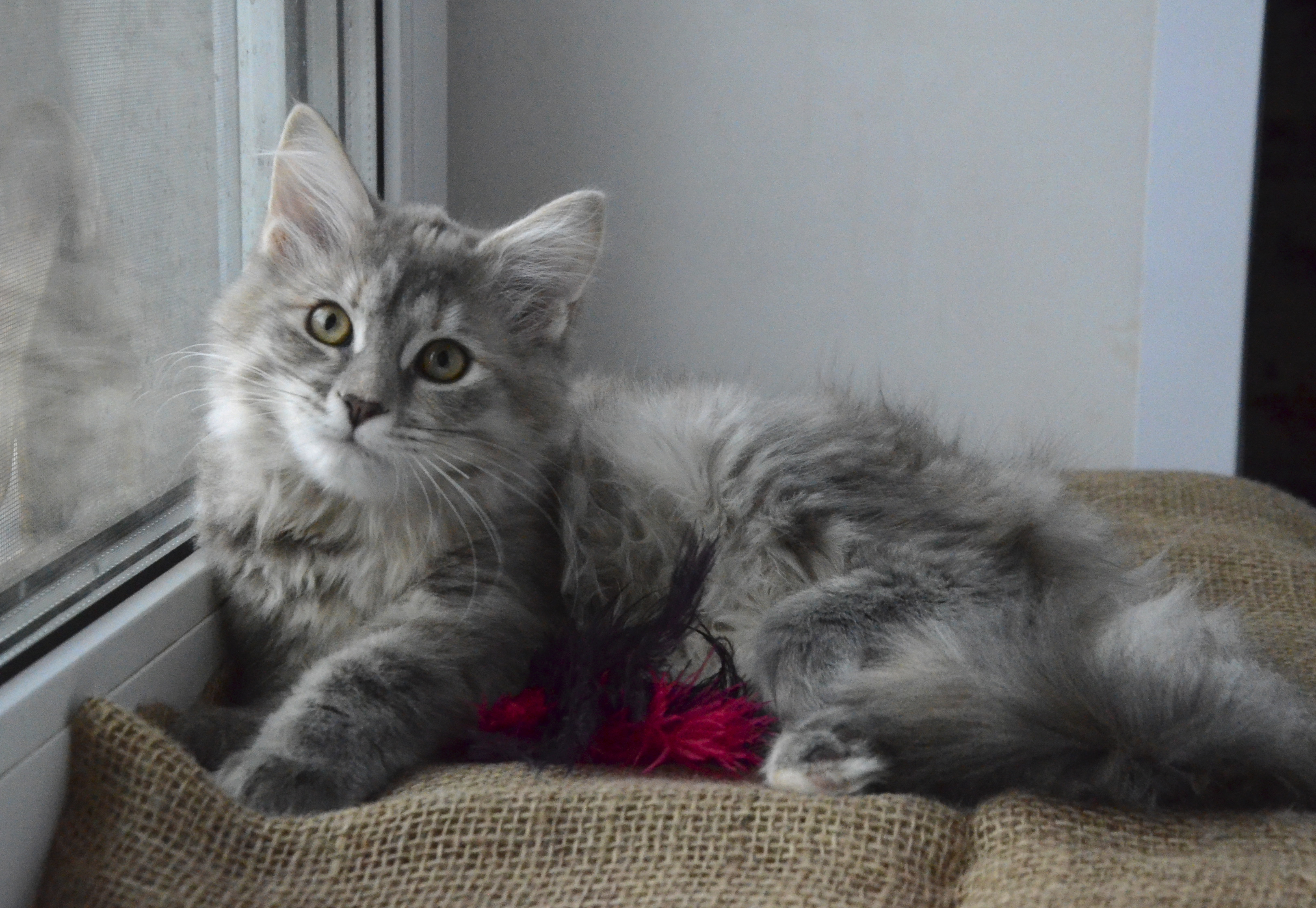 Siberian kitten Yashma