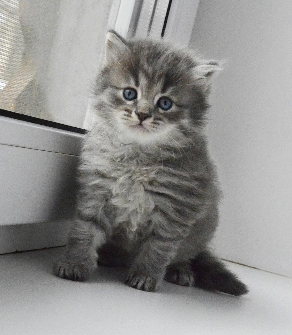 Siberian kitten blue tabby