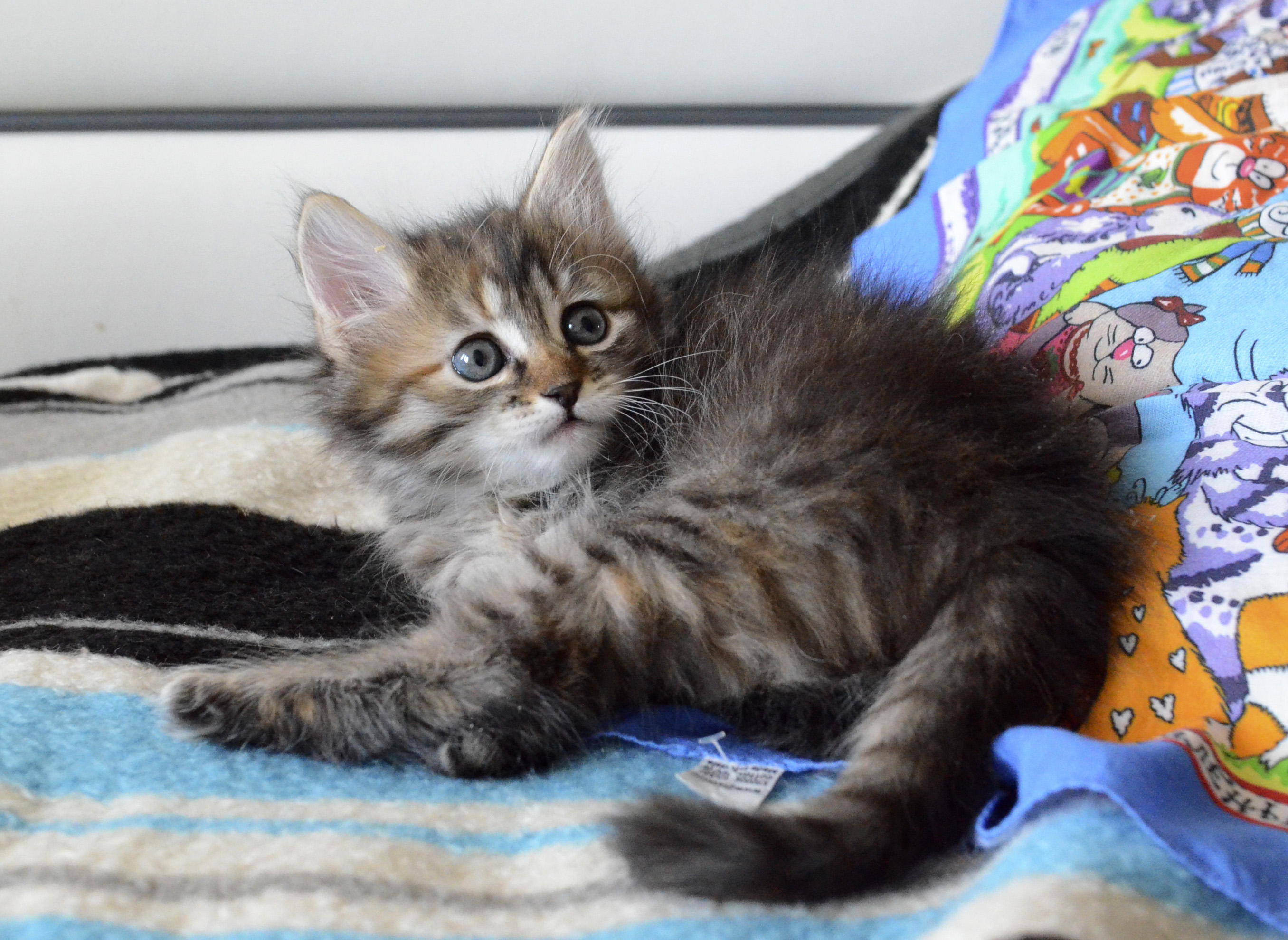 black tortie spoted siberian kitten