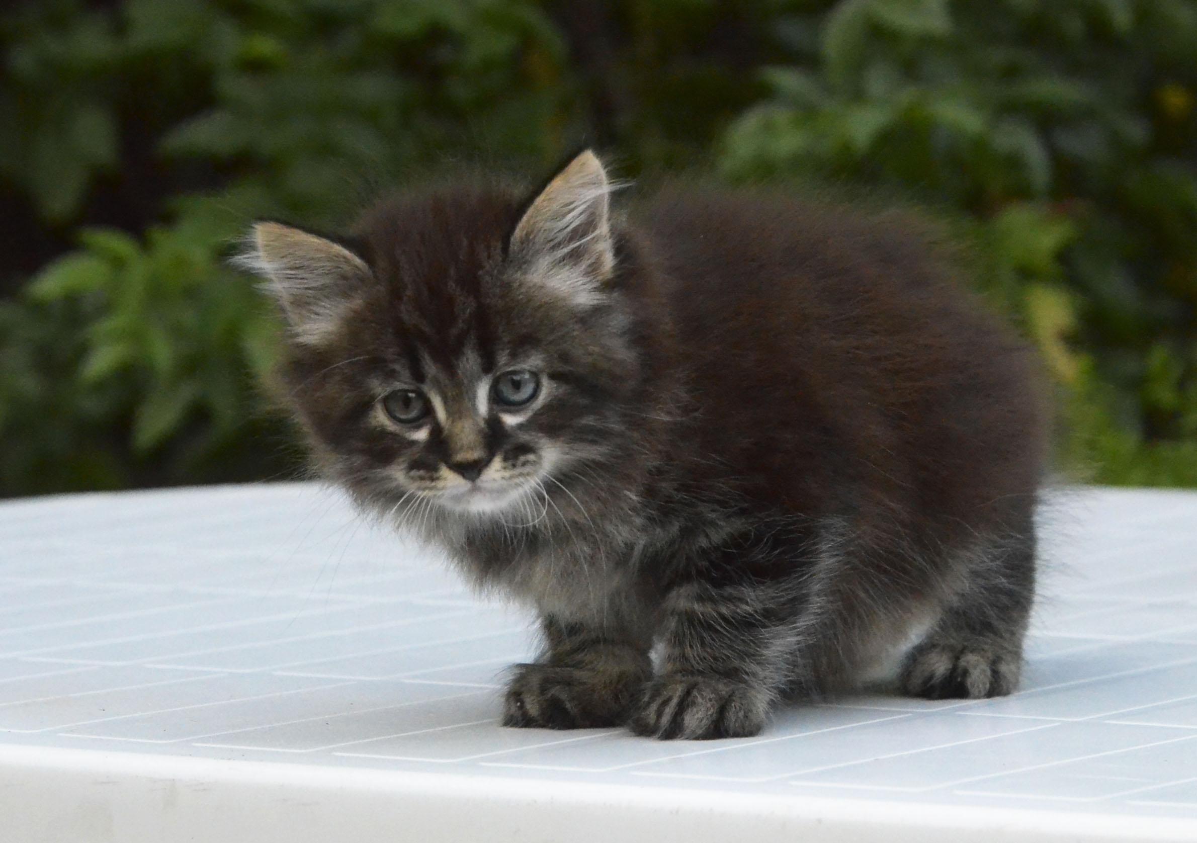 kitten 462
