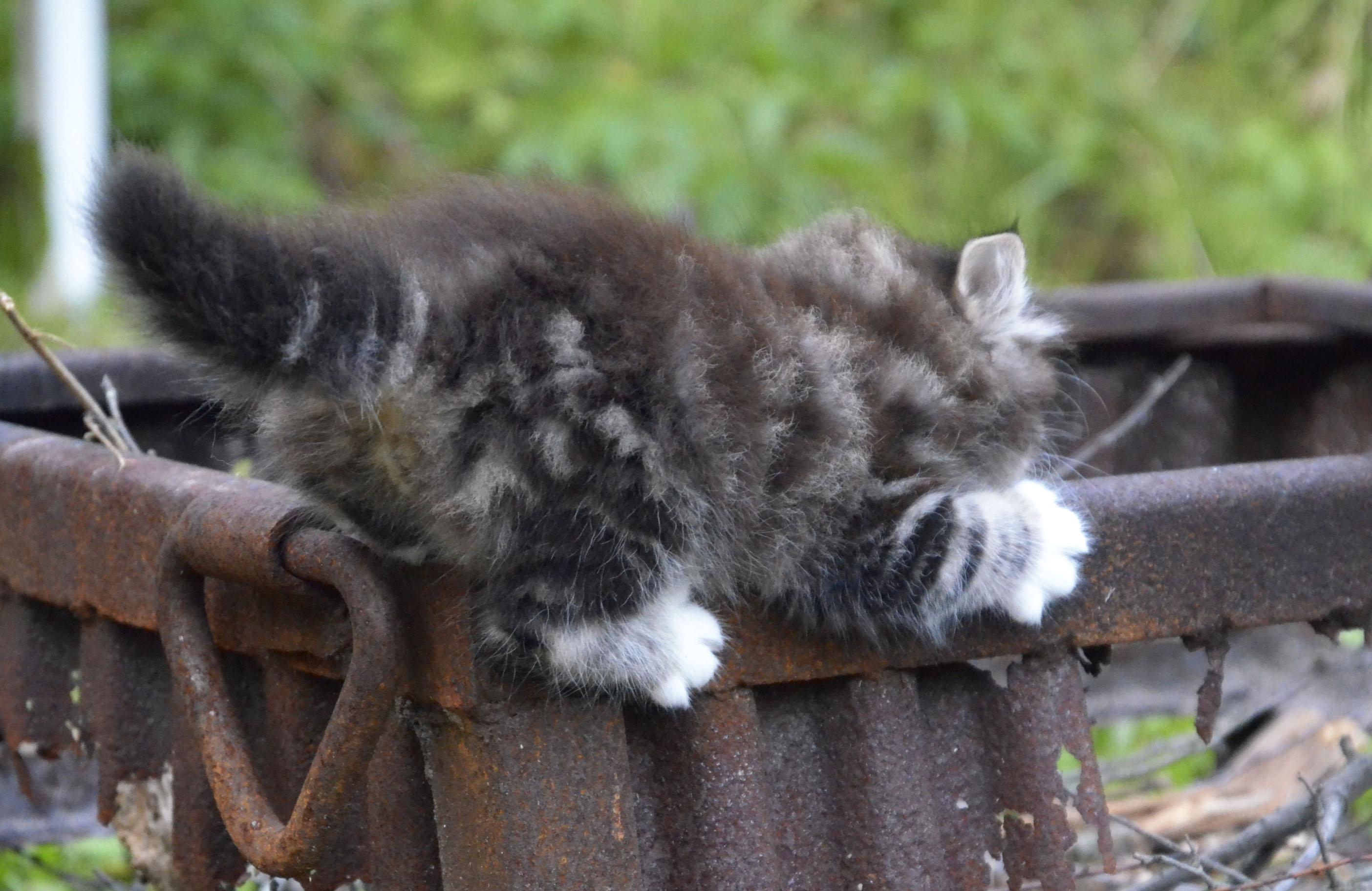 kitten 702